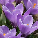 Crocus's  by Tracy Faught
