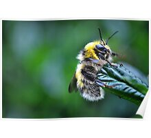 fluffy bee.. Poster