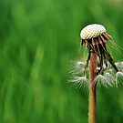 dandelion clock.. by Michelle McMahon