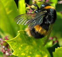 bee close up by Michelle McMahon