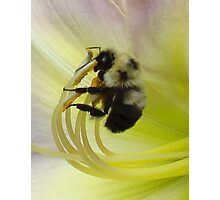 Bee 'n Lily II Photographic Print