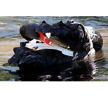 Black Swan Hiding Photographic Print