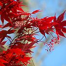 Japanese Maple by Kate Eller