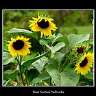 Sunflowers #1 by Rose Santuci-Sofranko