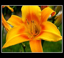 Day-Lily #1 by Rose Santuci-Sofranko