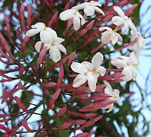 Pink Buds and Jasmine Blossom Close Up by taiche