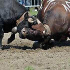 Cow Fighting by neil harrison