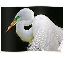 Gorgeous Great White Egret Poster