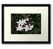 Delicate White Jasmine Blossom with Green Background Framed Print