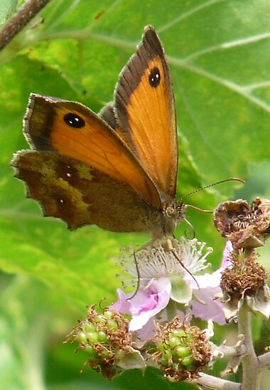 Gatekeeper butterfly  by Pauline-W