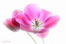 Pink tulip 4 by aMOONy