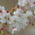 blossom by linzi200