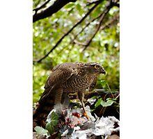 Sparrow Hawk Strikes Again Photographic Print