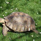 Giant tortoise by linzi200