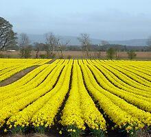 Daffodils Near Fettercairn by photobymdavey