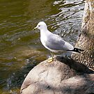 Seagull by Shulie1