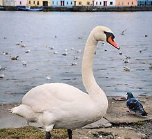 claddagh swan.. by Michelle McMahon
