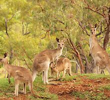 Eastern Grey Kangaroos by Richard Duffy