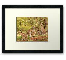 Eastern Grey Kangaroos Framed Print