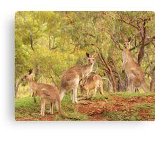 Eastern Grey Kangaroos Canvas Print