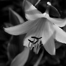 Hosta Lily in Black & White by WildestArt