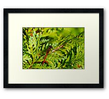 Autumn Meadowhawk on Juniper Framed Print