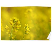 canola flowers   Poster