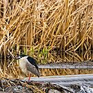 Black Crowned Night Heron by Jay Ryser