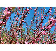 Cherry Blossoms in Beijing Photographic Print