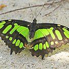 Malachite butterfly with wings open by jozi1