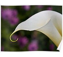 Calla lily in field of daisies Poster