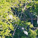 Big white birds in the trees behind our back fence by Ann Reece