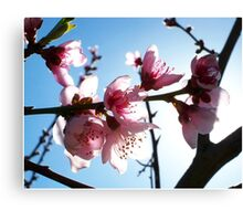 Peach blossoms I Canvas Print