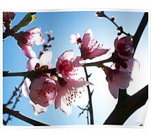 Peach blossoms I Poster