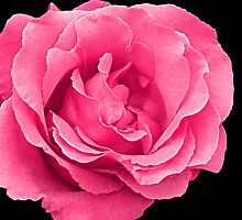 Mum's Rose by PollyBrown