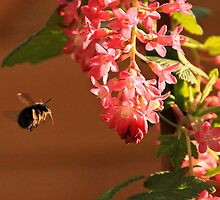 Bumble Bee in flight by Steven Jacques