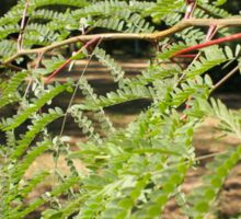 Selective focus on the young acacia branch with leaves and large spikes Sticker