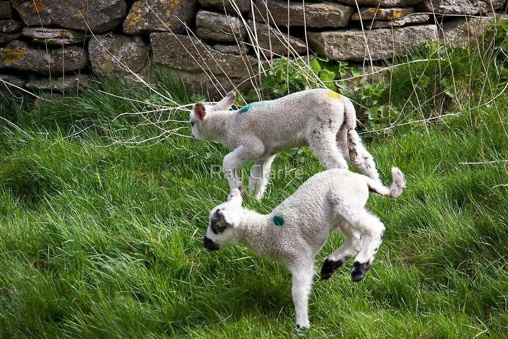 Pair of Woolly Jumpers by Ray Clarke