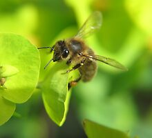 Honey Bee on the Euphorbia by Pamela Jayne Smith