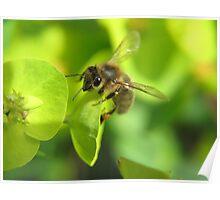Honey Bee on the Euphorbia Poster