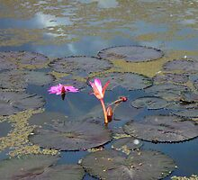 Waterlilly at Ululah by bubblesron