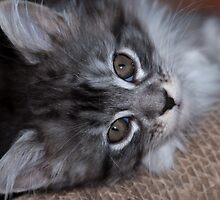 Relaxed kitty by Elaine Hillson