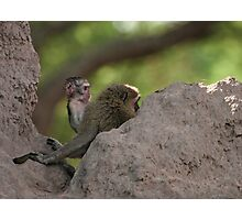 Vervet Monkey's on the look out Photographic Print