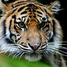 Tiger with Intent by Sally Haldane
