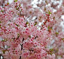 Washington Cherry Blossoms by Alex Eckermann