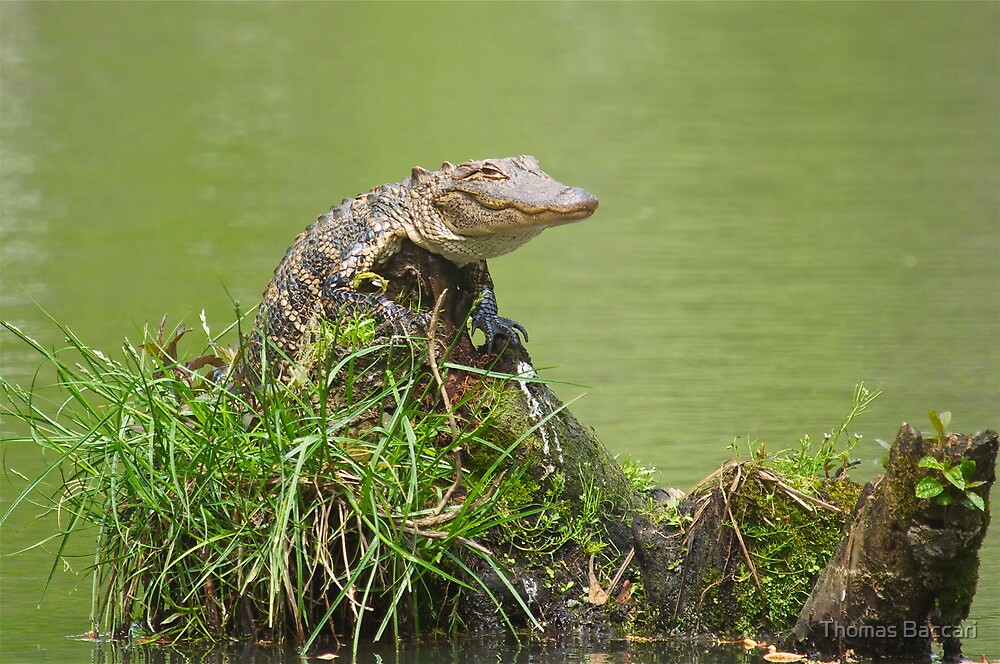 Baby Gator crawl up on a Stump by TJ Baccari Photography