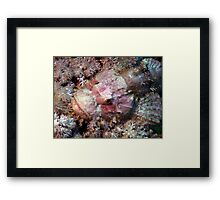 Camouflaged Pink Scorpion Fish in the Red Sea Framed Print