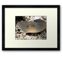 Blue Spotted Ray Feeding Framed Print