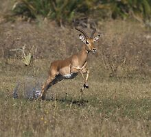 One Giant Leap - Impala Ram  by Kevin Jeffery