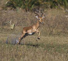 One Giant Leap - Impala Ram  by Kevin Jeffery
